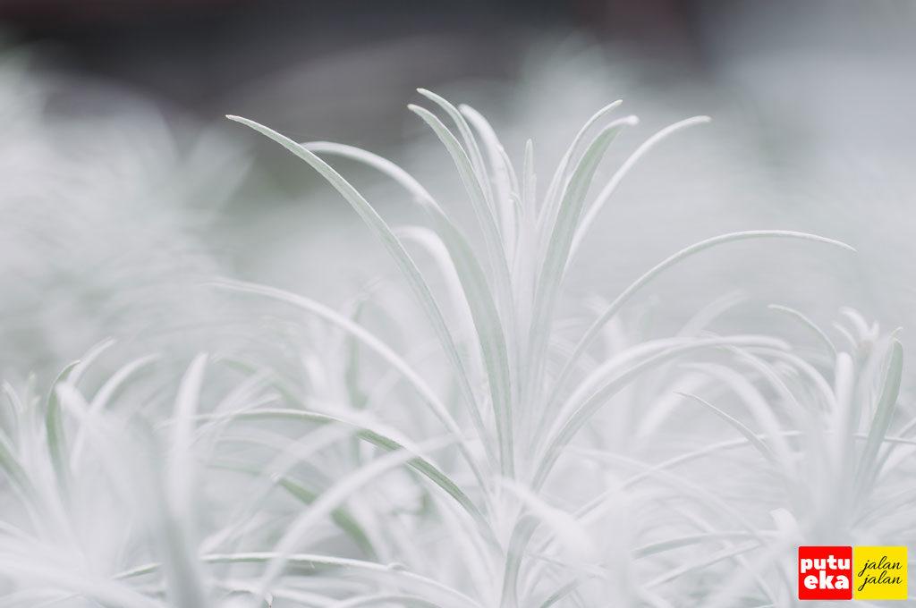 Bunga Kasna yang seputih salju