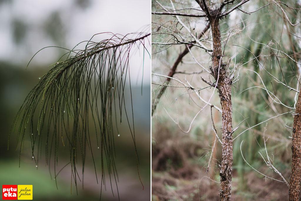 Deadunan berbentuk jarum dari pohon Pinus