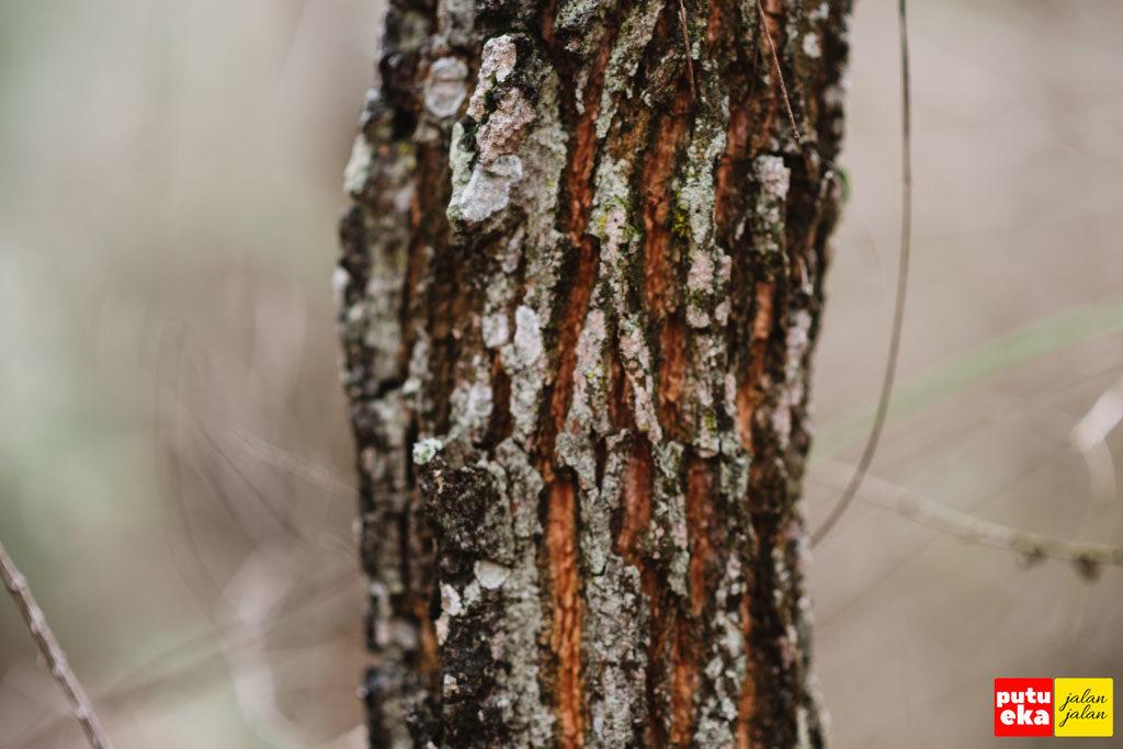 Batang pohon Pinus dengan tekstur kasar dan beralur dalam