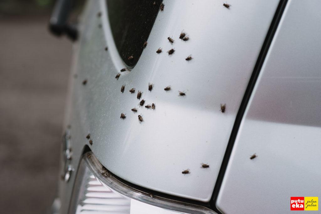 Lalat nampak sedang hinggap di badan mobil
