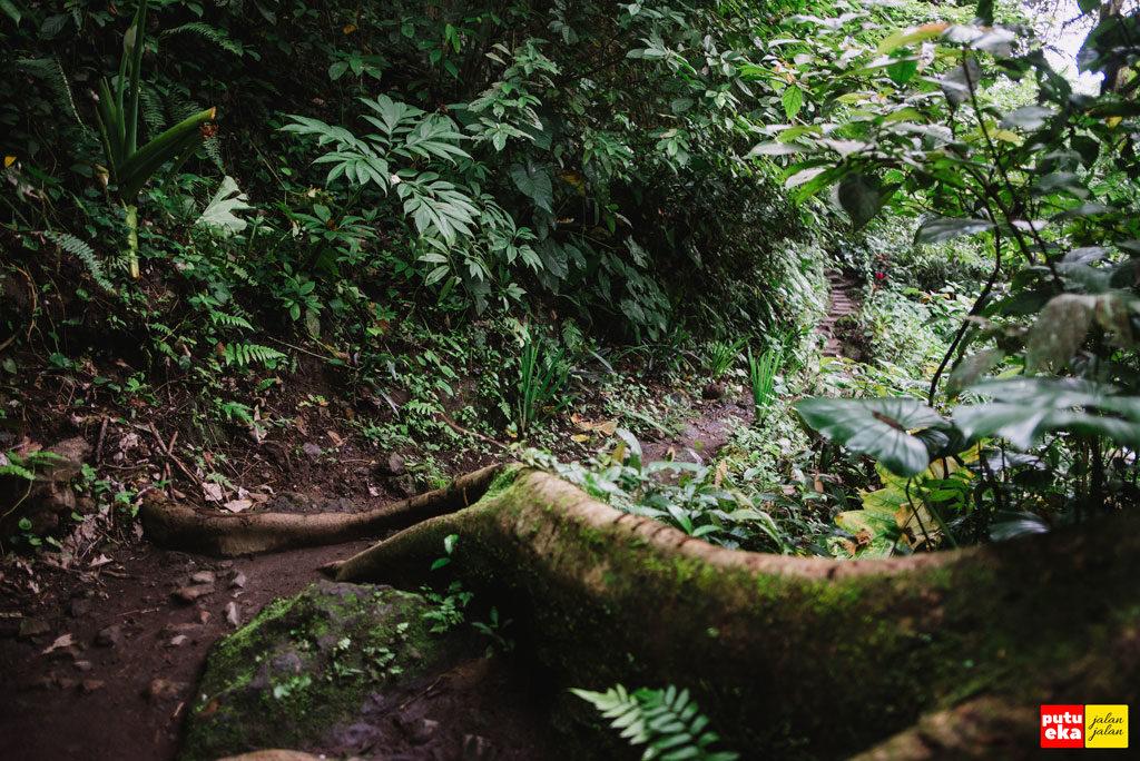 Akar pepohonan yang muncul ke permukaan tanah melintang ditngah jalan setapak