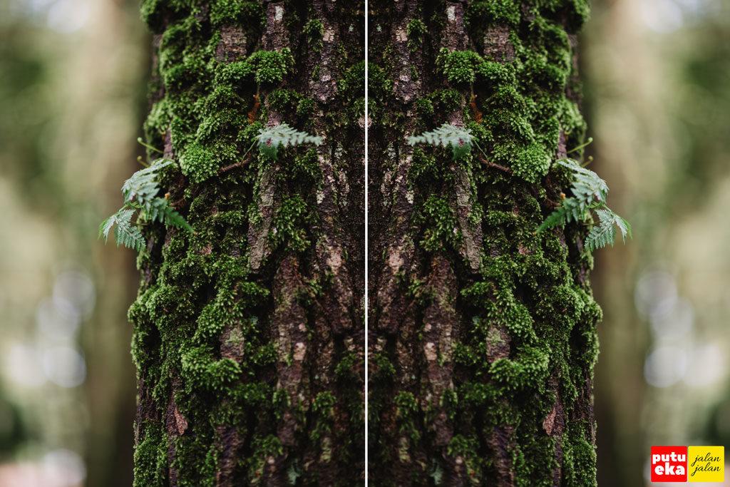 Batang pohon Pinus dengan lumut menyelimutinya