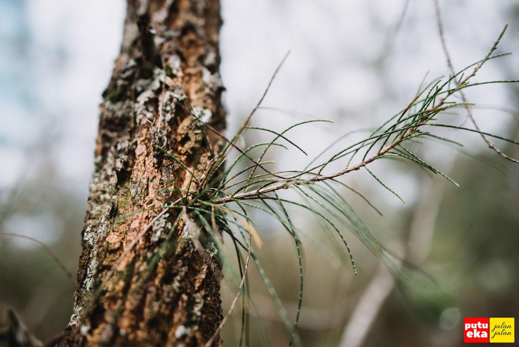 Daun Pinus yang berbentuk jarum dengan tekstur kulit pohon yang kasar