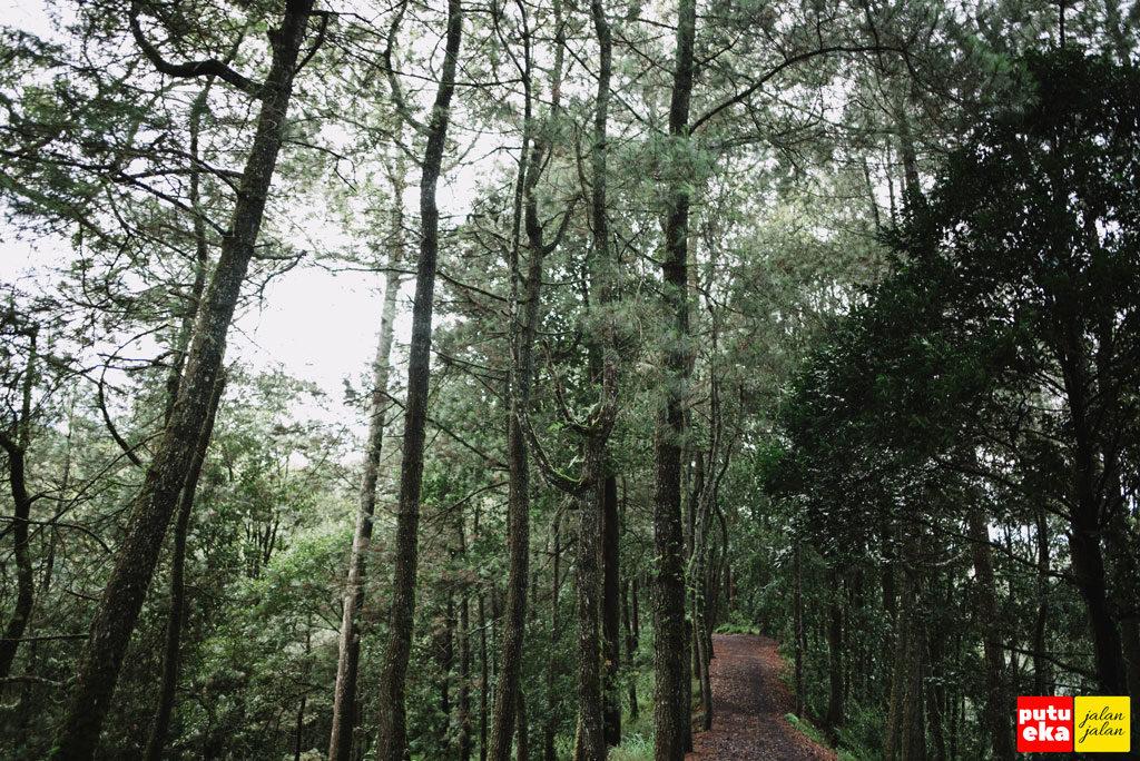 Hutan Pinus yang menjulang tinggi ke angkasa