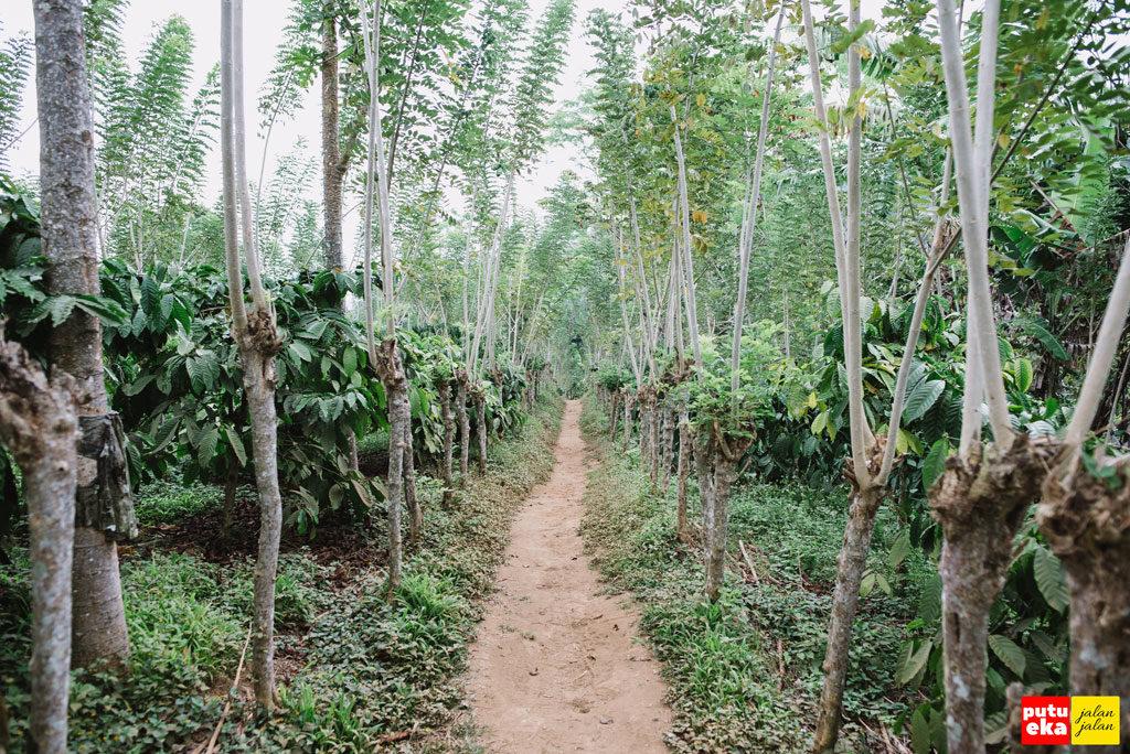 Deretan pohon Kopi dipadu dengan pohon Gamal dikiri kanan jalan