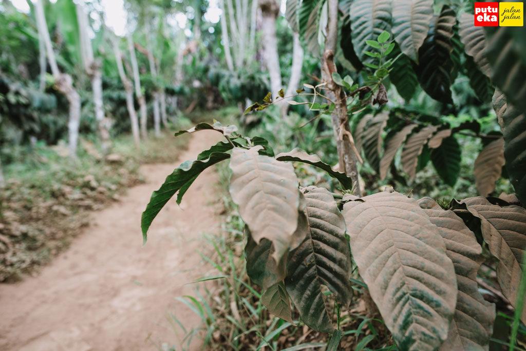 Daun pohon Kopi yang tertutup debu yang beterbangan
