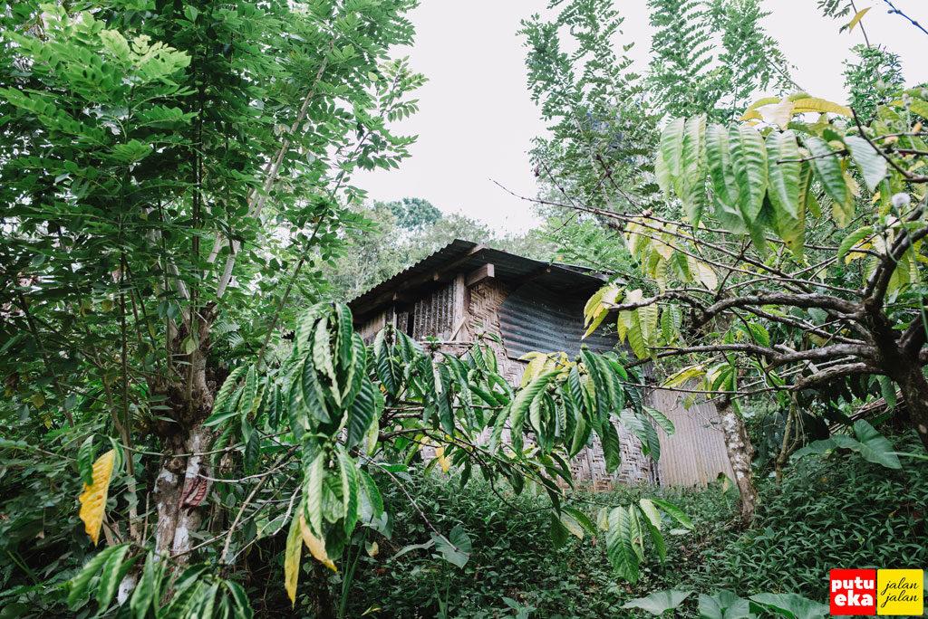 Bangunan disela-sela pohon kopi yang dipergunakan untuk beristirahat bagi pemilik kebun