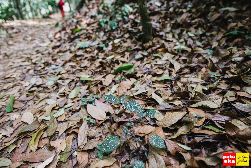Tumpukan daun kering dijalan menuju Air Terjun Blemantung