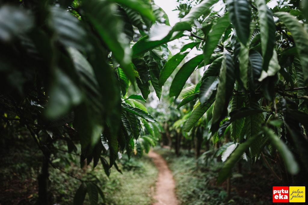 Jalan setapak diantara tanaman kopi yang menghijau