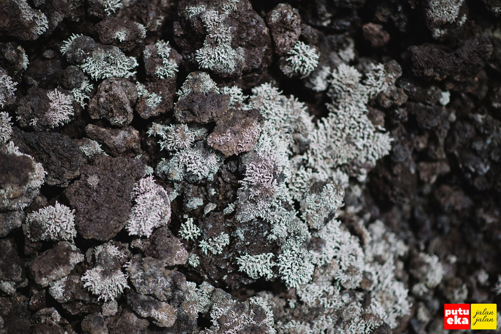 Lumut yang tumbuh diantara bebatuan lava hitam