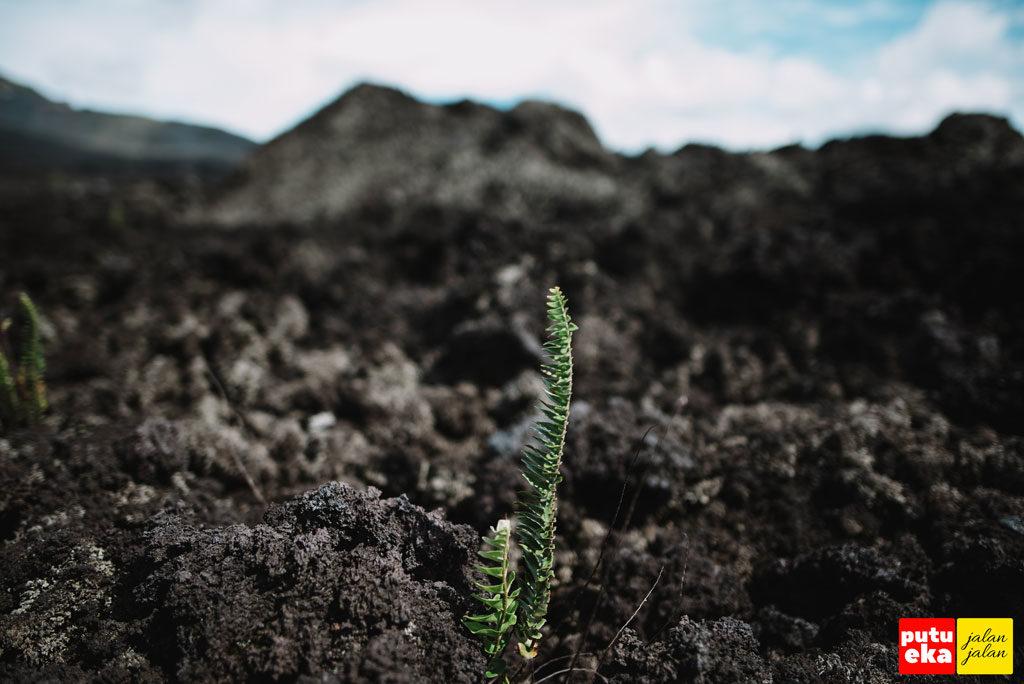 Tanaman sebangsa paku-pakuan yang mulai tumbuh disela batuan lava hitam