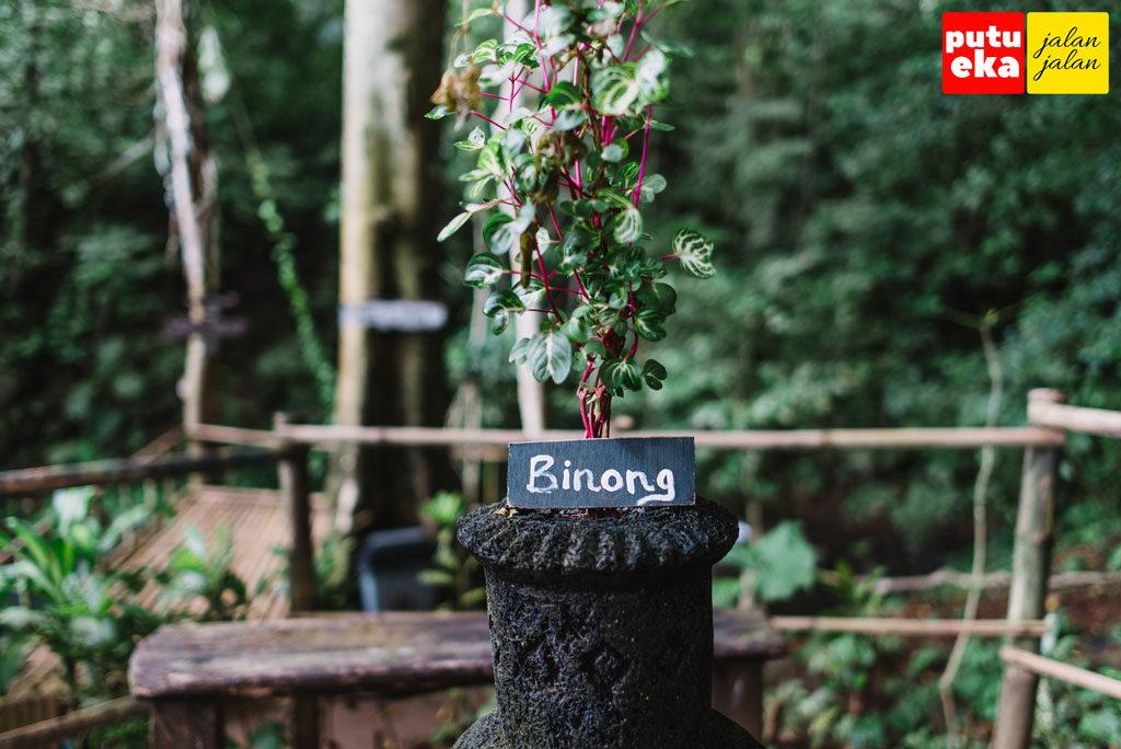 Tumbuhan binong yang ditanama didalam vas besar dan diletakkan diatas meja kayu