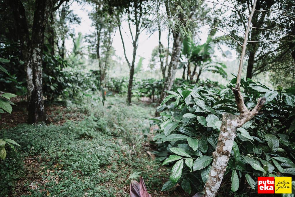 Tanaman kopi dan cengkeh yang mendominasi kebun warga