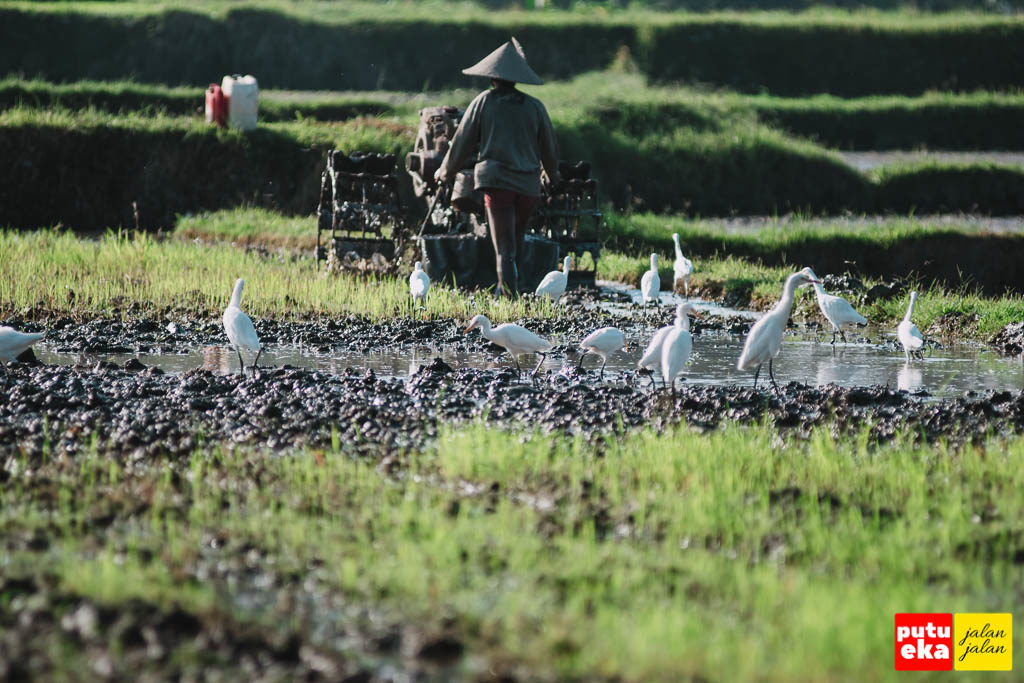 Burung-burung putih yang sedang mencari cacing di tanah yang sudah dibajak
