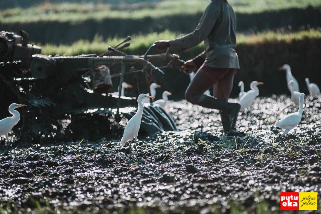 Burung-burung dengan santai berada disebelah petani yang sedang membajak sawah