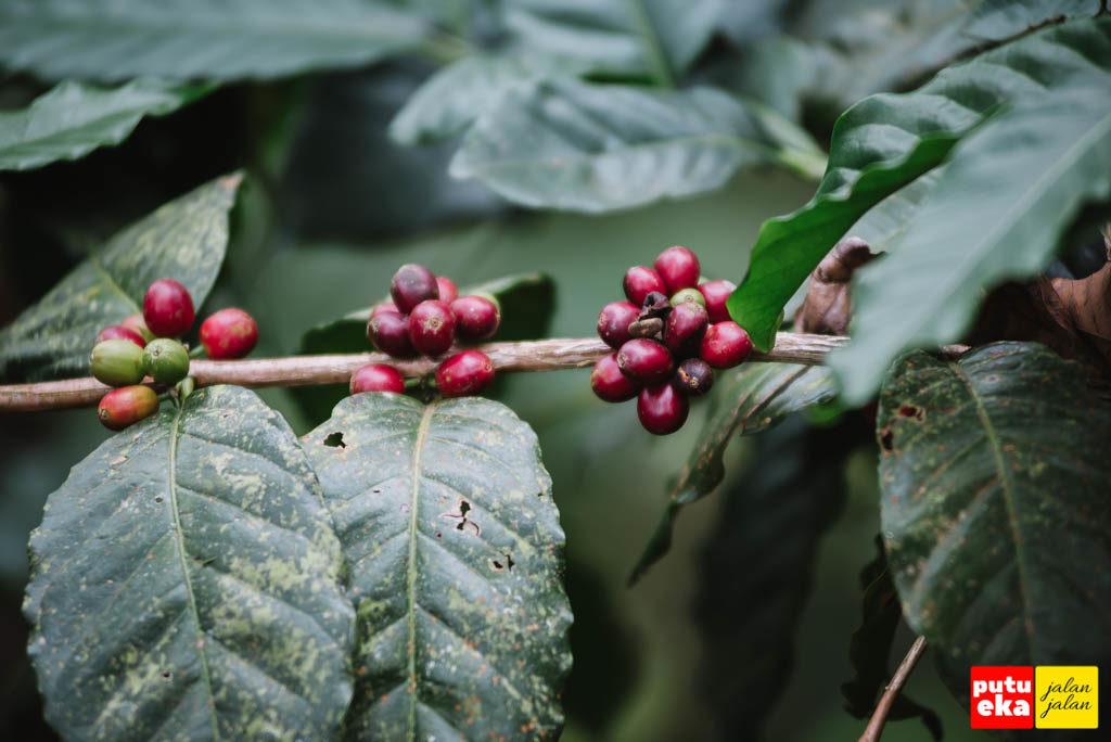 Buah kopi berwarna merah yang siap untuk dipetik