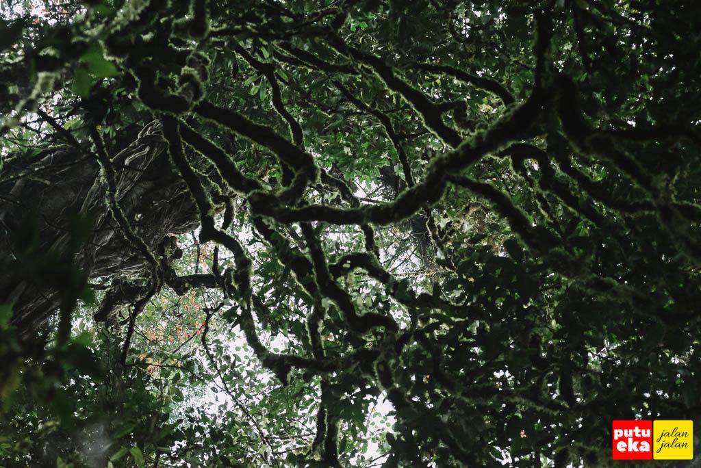 Liukan hijau eksotis dari cabang pohon di ketinggian
