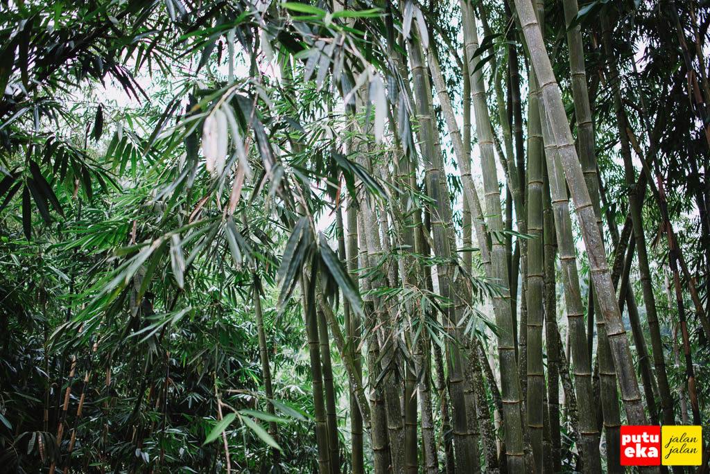 Pepohonan bamboo dengan gemerisik daunnya yang khas