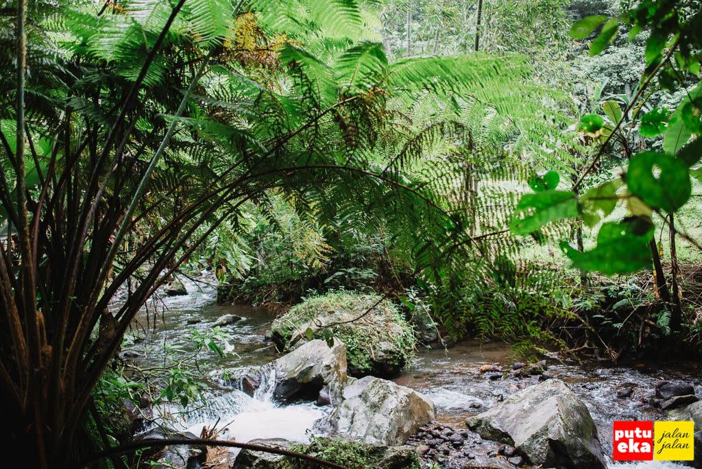 Tanaman pakis yang besar tumbuh di tepian aliran sungai