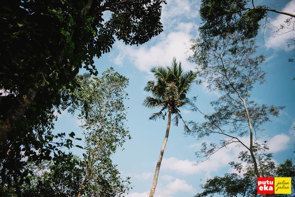 Pohon kelapa yang menjulang tinggi ke angkasa