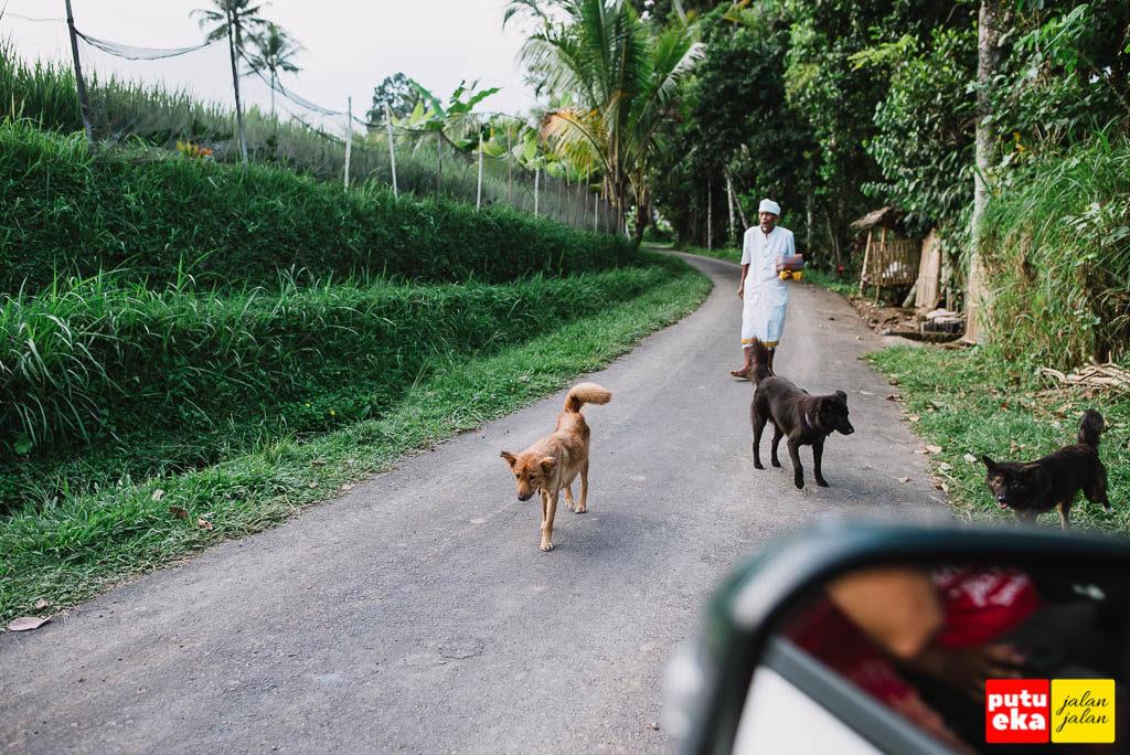 Pemangku sedang menuju ke Pura Dalem sambil dikawal oleh para anjing