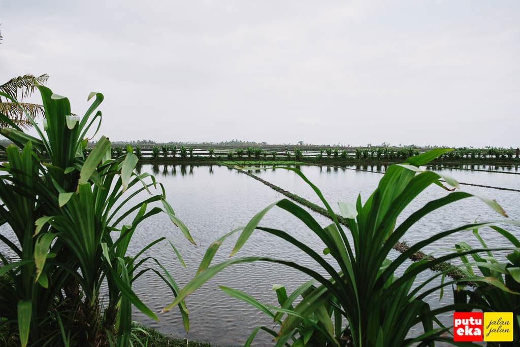 Persawahan yang sedang disiapkan untuk menanam padi