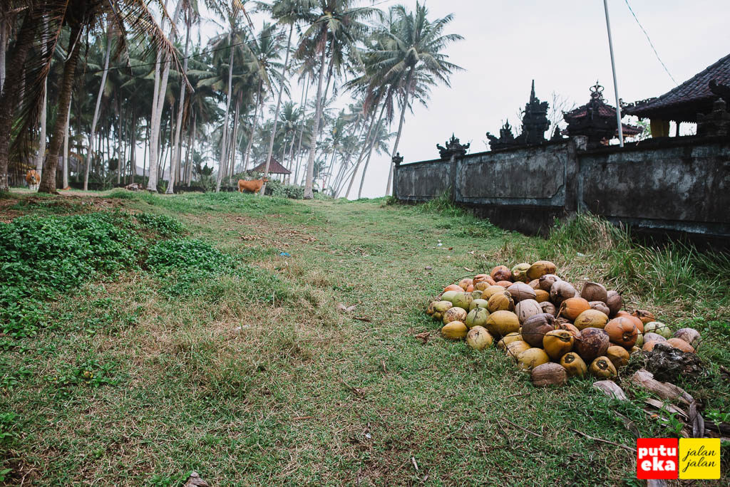 Buah kelapa yang bertumpuk disebelah pura dengan sapi dikejauhan