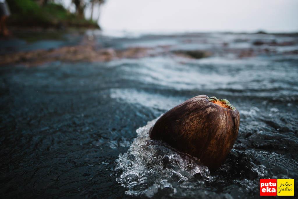 Buah kelapa yang hanyut ke pantai