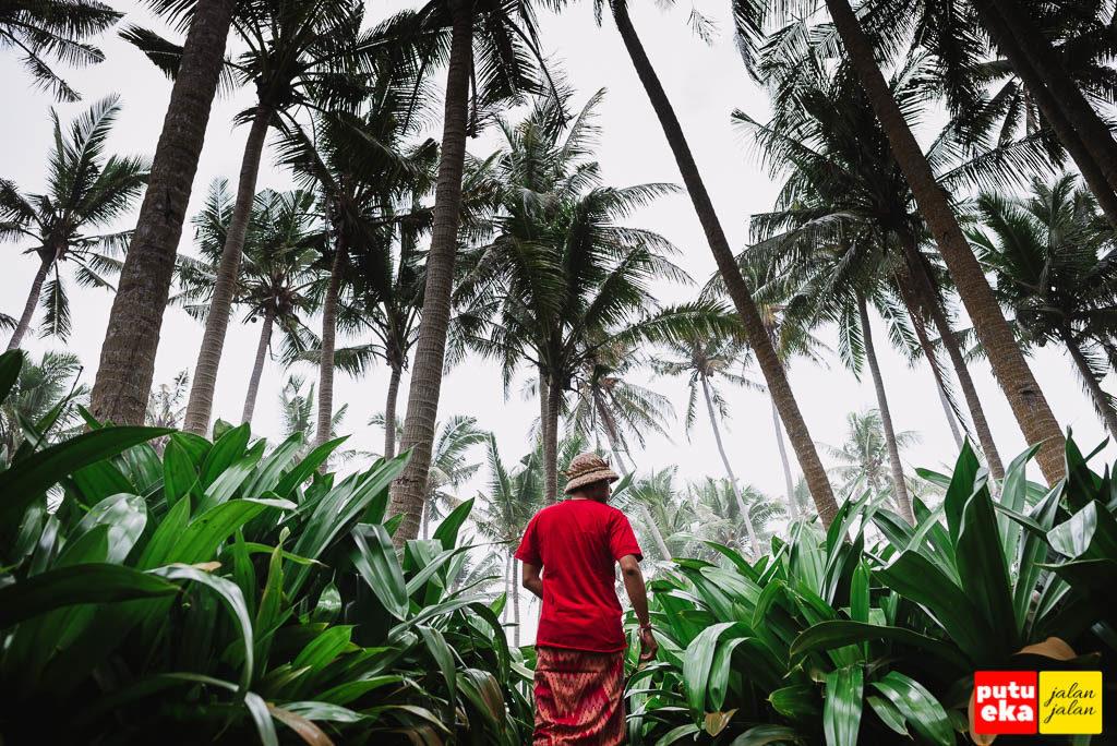 Pohon kelapa dan Pandan yang menghijau