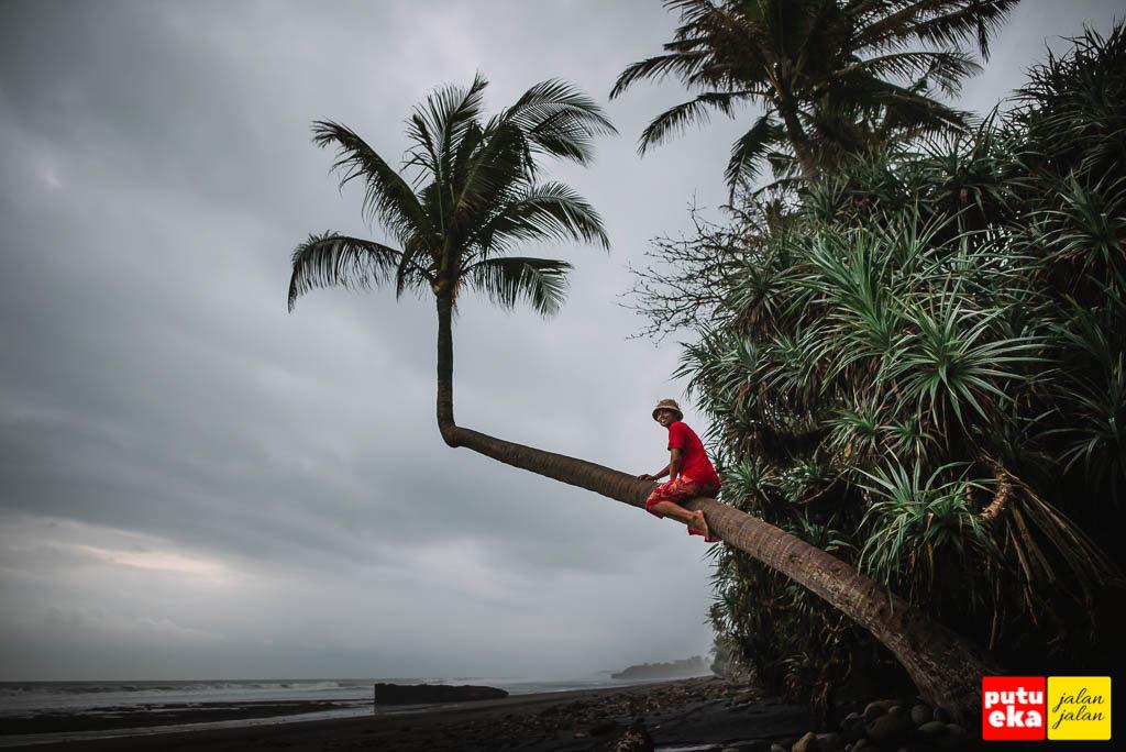 Perjuangan memanjat pohon kelapa yang miring dan licin di Pantai Pasut