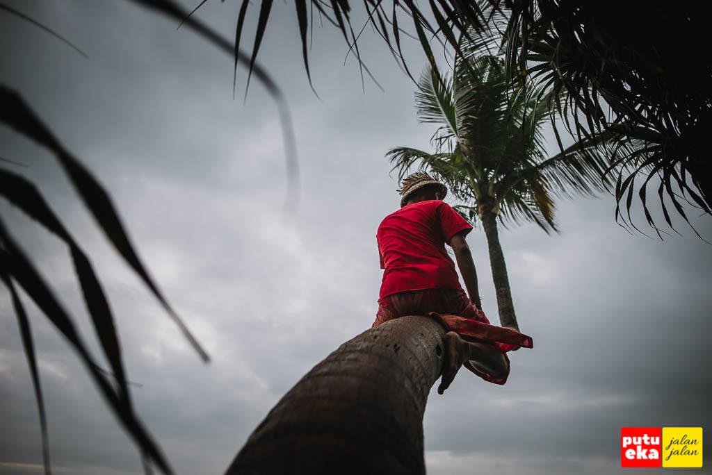Putu Eka Jalan Jalan sedang memanjat pohon Kelapa yang melengkung