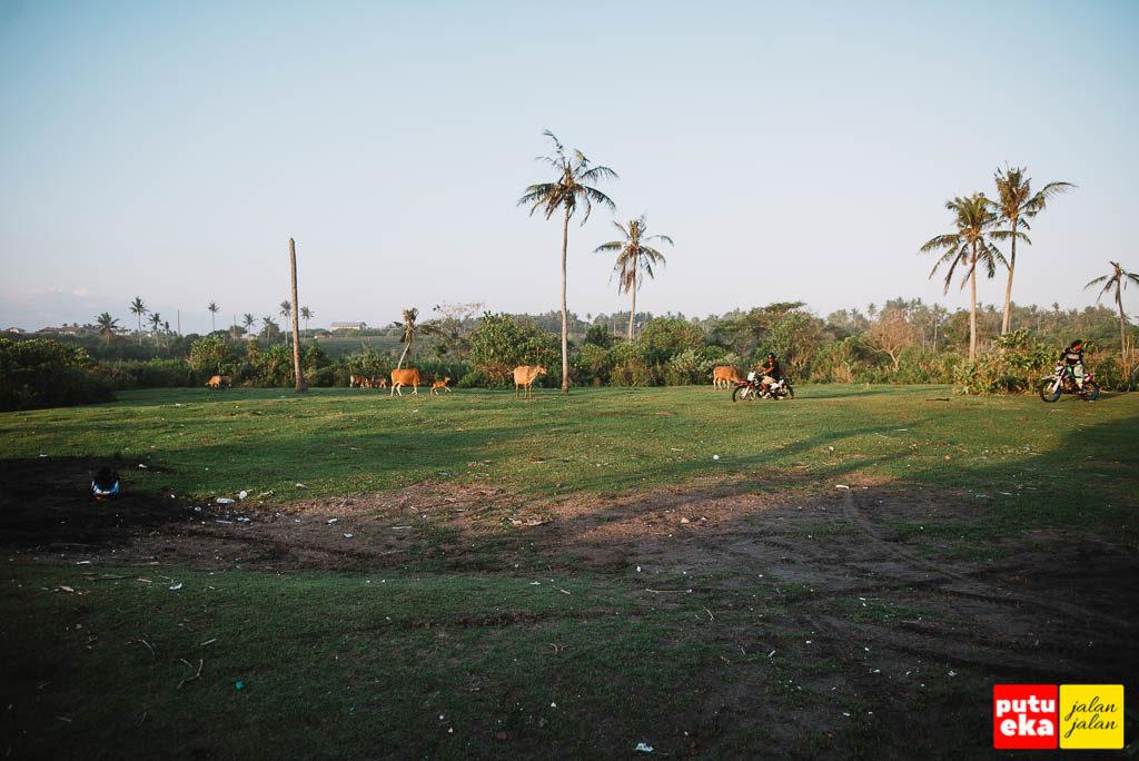 Para Sapi digembalakan di kehijaun rumput di tepi Pantai Tampih