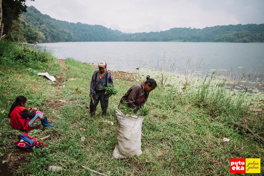 Ibu-ibu yang sedang mencari rumput untuk ternak yang dipelihara