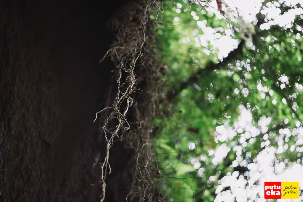 Akar pohon yang tampak menggantung