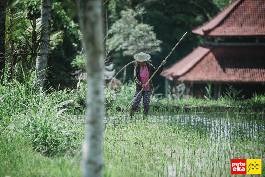 Ibu petani yang sedang membersihkan gulma dari lahan sawahnya