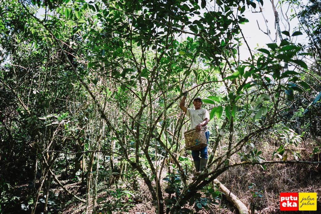 Petani kopi di atas pohon kopi sedang panen kopi