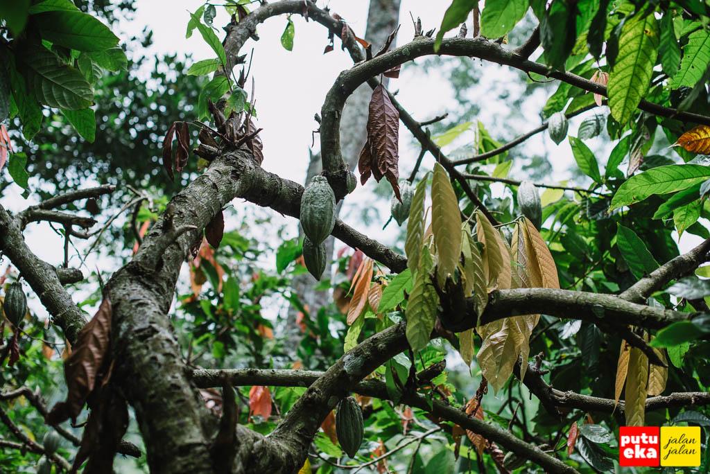 Buah Coklat bergantungan di pohonnya
