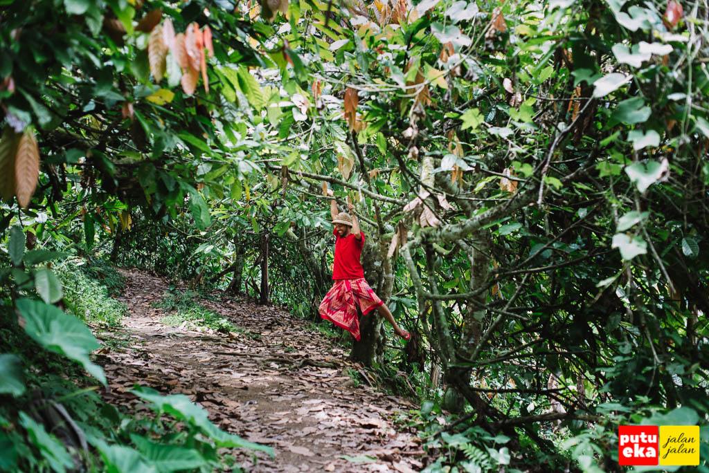 Seorang buaya bergelantungan seperti monyet di pohon Coklat