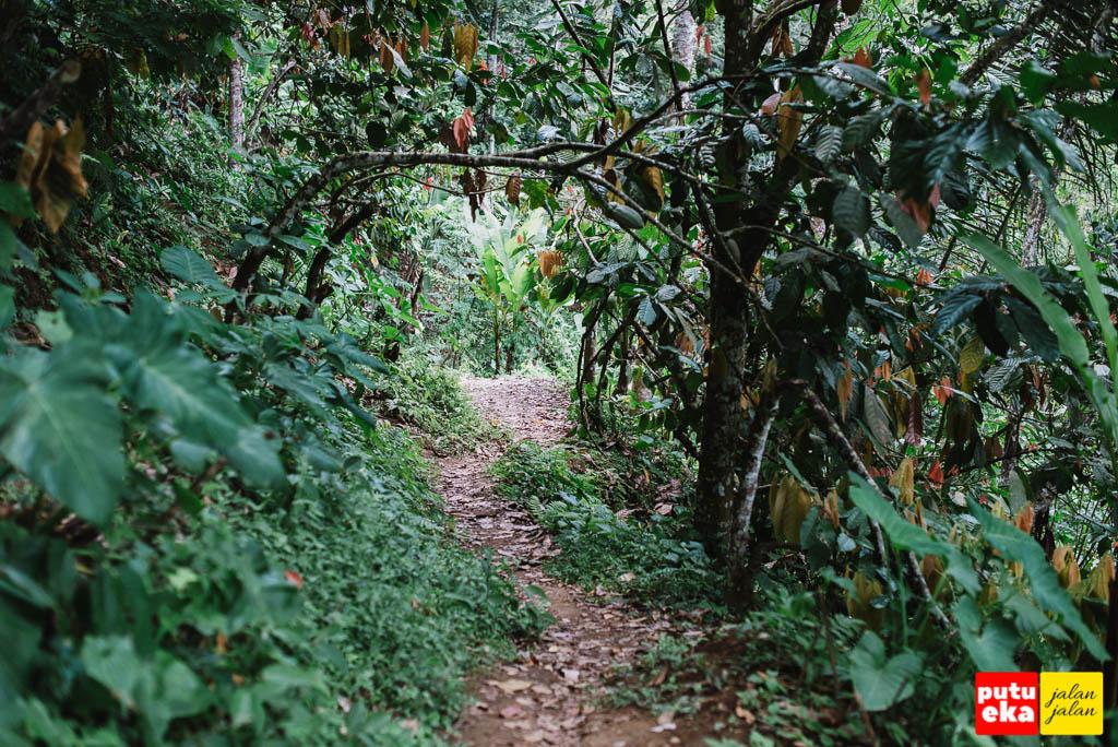 Jalan setapak membelah kumpulan tanaman Coklat