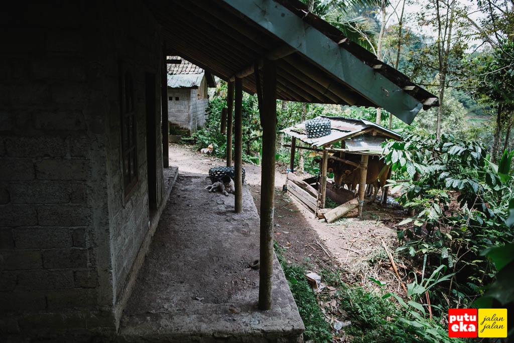 Jalan menuju air terjun melalui rumah dan kandang sapi warga