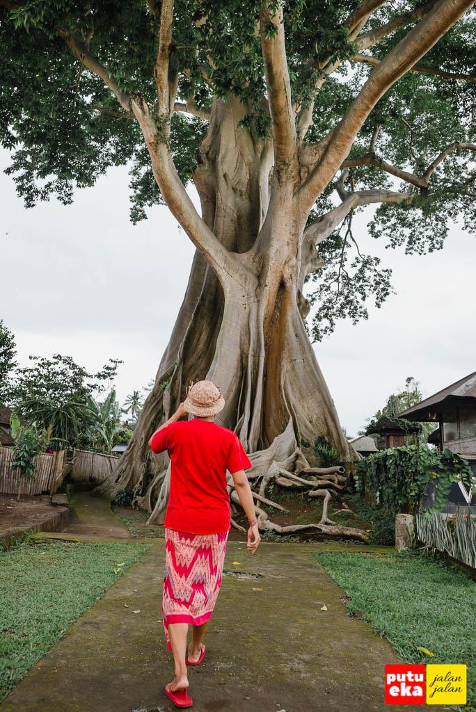 Berjalan menuju Pohon Kayu Putih Bayan dari tepi jalan besar