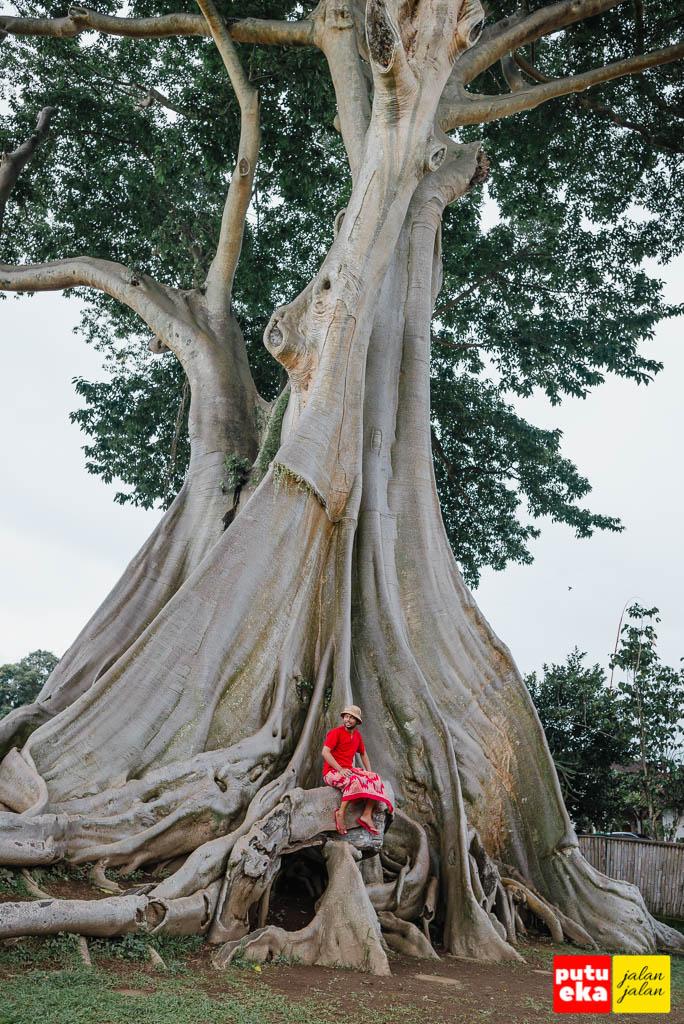 Duduk dibawah kerindangan Pohon Kayu Putih Bayan