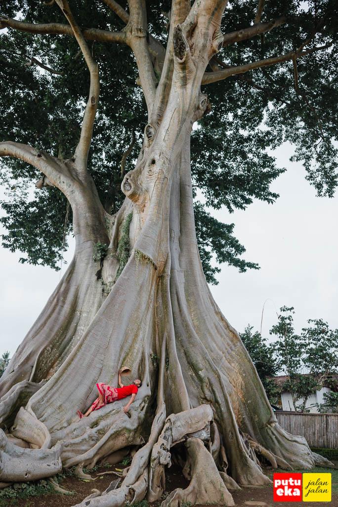 Berbaring sambil memandang kemegahan Pohon Kayu Putih Bayan
