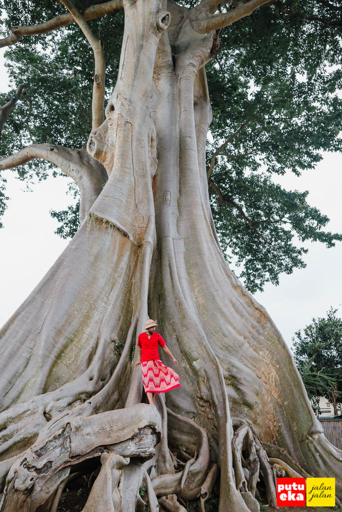 Berdiri diatas akar besar Pohon Kayu Putih Bayan yang meliuk