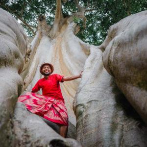 Pohon Kayu Putih Bayan Tua nan Megah Berusia Ratusan Tahun