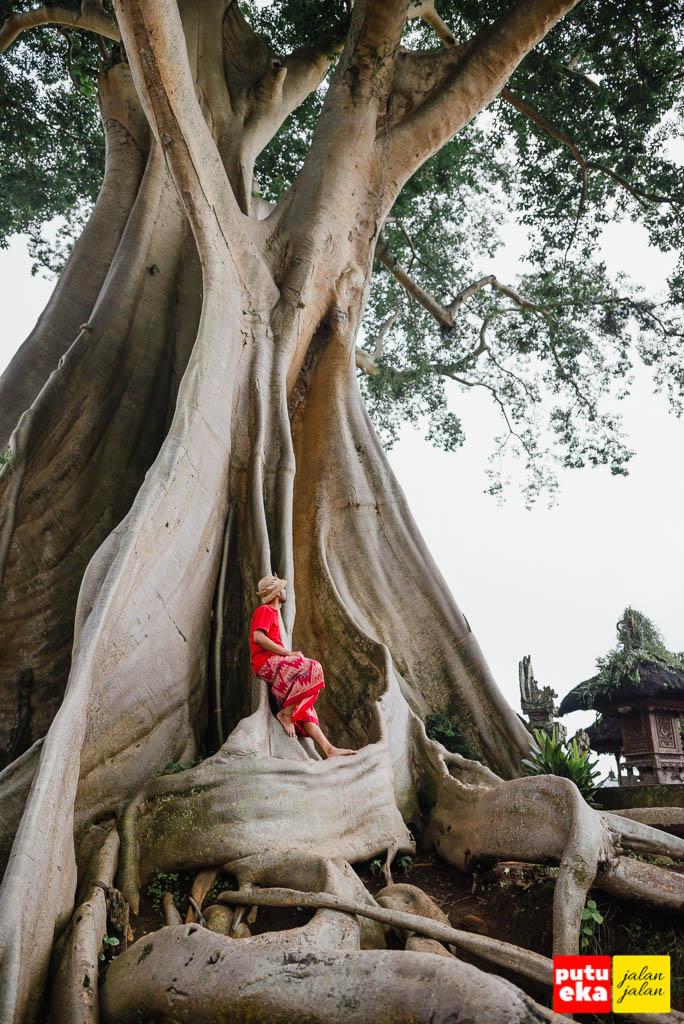 Lekukan eksotis dari batang dan akar Pohon Kayu Putih Bayan